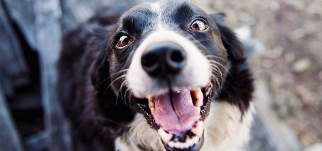 dog pet 453x213 - 3 Human Foods Good for Dog Training Treats