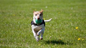 dog running 300x169 - dog-running