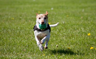 dog running 400x245 - 2 Reasons Why Positive Reinforcement is Good for Dogs