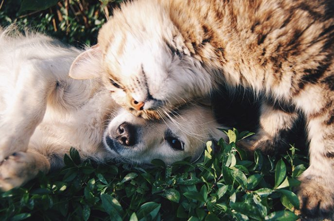 dogcat 687x455 - 3 Tricks to Get Your Cats and Dogs to Get Along